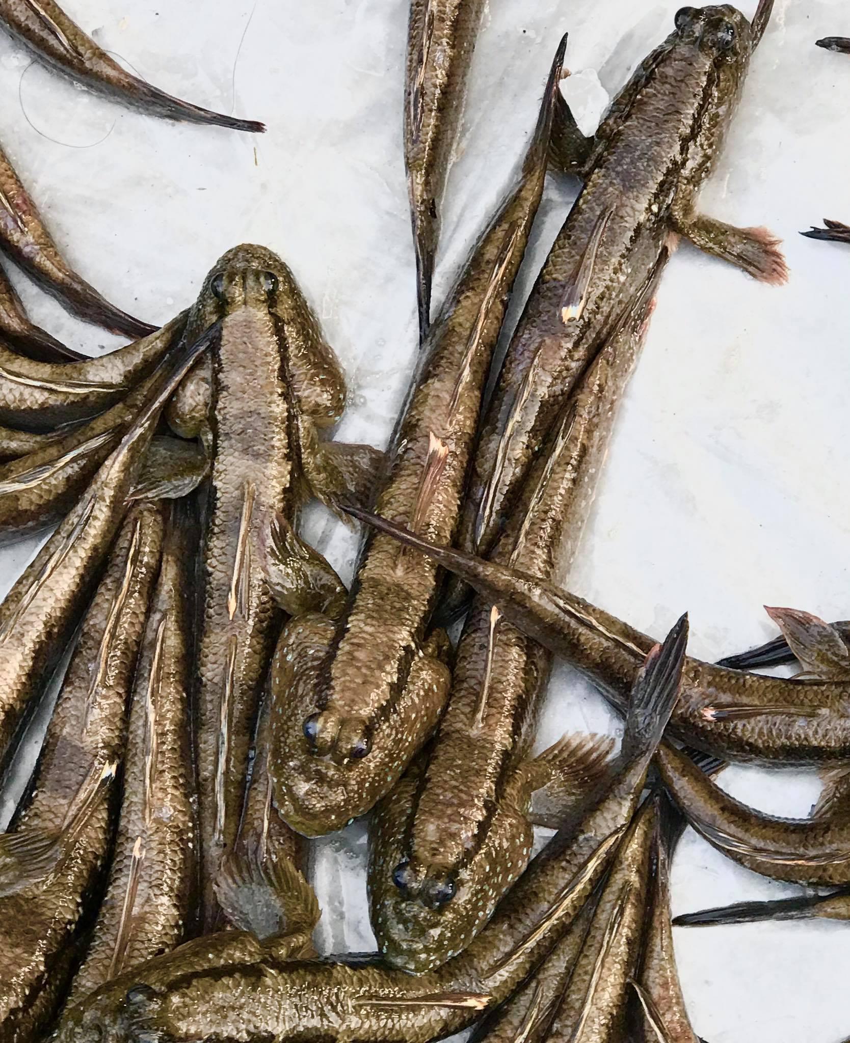 Đặc sản 'quái thú leo cây' ở Cà Mau: Ngon nức tiếng, có tiền cũng khó mua