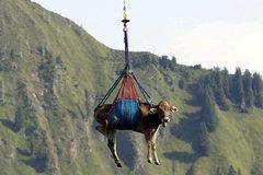 Sự thật về những chú bò 'bay qua núi' ở Thụy Sĩ