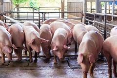 Bình Phước xây dựng vùng an toàn dịch bệnh trong chăn nuôi gia súc xuất khẩu