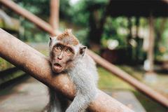 Vắng khách du lịch, khỉ đói Bali thành 'siêu trộm' hung hãn, đột nhập cả nhà dân