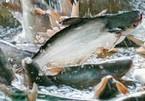 Hàng nghìn tấn cá tra quá lứa vì không có người thu hoạch