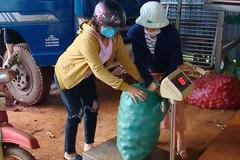 Chanh dây được giá, nông dân Gia Lai thu hàng trăm triệu đồng/ha