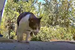 Con mèo trộm đồ của nhà hàng xóm về cho chủ