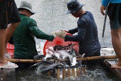 Fish harvesting teams need to be set up amid pandemic