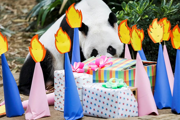 Singapore tổ chức sinh nhật đầy bất ngờ cho 'nhà ngoại giao' gấu trúc