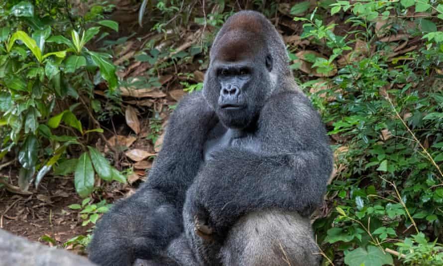 Khỉ đột già nhất thế giới ở Vườn thú Mỹ nhiễm Covid-19