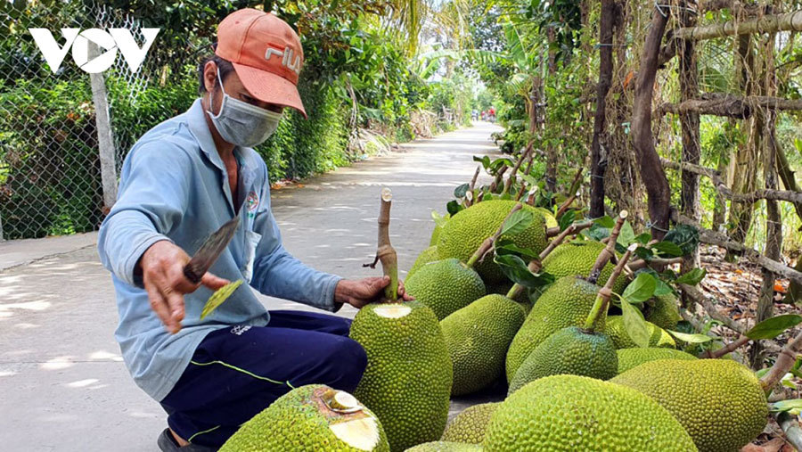 Mít Tiền Giang tăng giá, nhiều nhà vườn lãi lớn