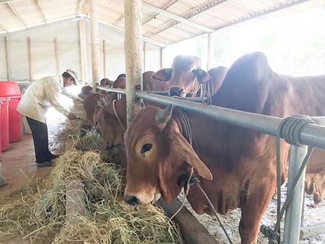 Huyện Gio Linh kiểm soát chặt chẽ việc giết mổ gia súc nhằm phòng ngừa dịch bệnh