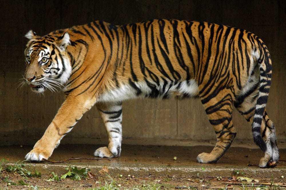 Toàn bộ 'chúa Sơn Lâm' ở Vườn thú Quốc gia Mỹ nhiễm Covid-19