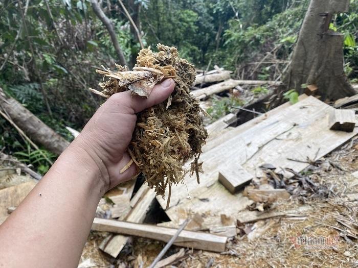 Rừng phòng hộ A Lưới bị 'xẻ thịt' tan hoang