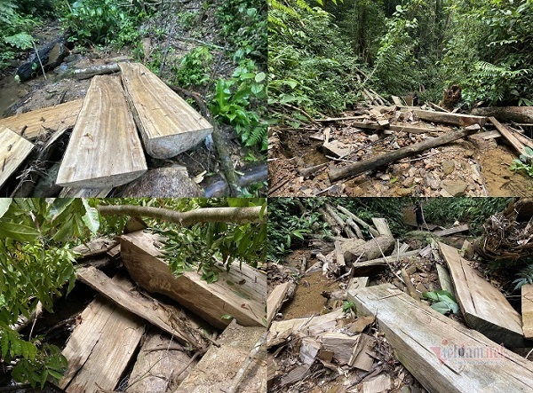 Rừng phòng hộ A Lưới bị 'xẻ thịt': Hơn 50 m3 gỗ đã bị lâm tặc lấy đi
