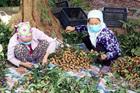 Chưa bao giờ buồn như năm nay: Nhãn Hưng Yên mất mùa, giá rẻ hơn rau