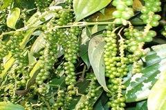 Hạt tiêu Việt Nam được nhiều thị trường quốc tế đánh giá cao