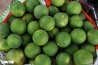 Nông dân khốn khổ tìm đầu ra cho hàng trăm tấn cam đặc sản