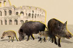 Lợn rừng tràn vào thủ đô Rome của Ý, tấn công người cướp thức ăn