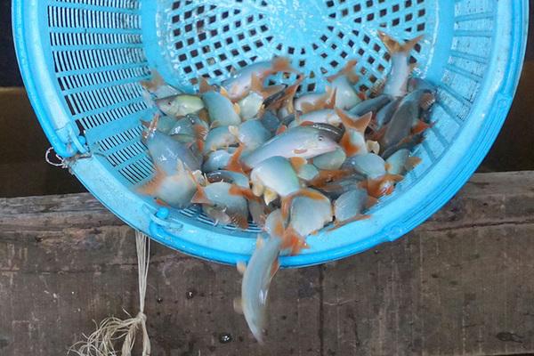 Có 1 không 2: Việt Nam có loài cá kêu éc éc như lợn