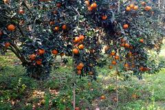 Hà Giang đẩy mạnh quảng bá, giới thiệu sản phẩm cam trên nền tảng số