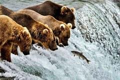 Cuộc thi tìm kiếm 'đệ nhất' gấu béo nặng cả tấn ở Alaska