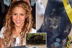 Shakira và con trai bị lợn rừng tấn công ở Tây Ban Nha
