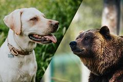 Cặp đôi bị gấu rừng tấn công khi đi dã ngoại, chú chó dũng cảm giúp chủ thoát thân