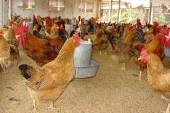 Bắc Ninh phấn đấu tiêm phòng đại trà cho đàn gia cầm vụ thu đông đạt 100%