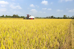 Vietnam's rice price surges, surpasses that of Thailand