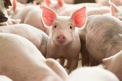 Giá lợn 30.000 đồng/kg, 'khủng hoảng lịch sử' một lần nữa lặp lại