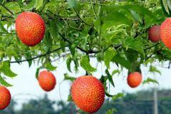 Trái cây 'đến từ thiên đường', thương lái đến tận vườn thu mua