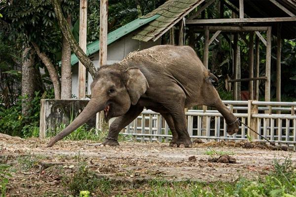 'Làm việc quần quật' suốt 15 năm, voi quý hiếm ở Bali vẫn bị ngược đãi