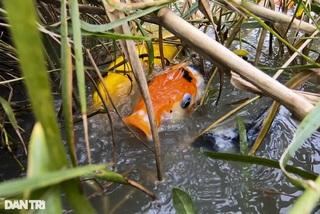 Lạ lẫm cảnh cá Koi Nhật Bản được nông dân nuôi tại ao ruộng bùn lầy