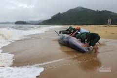 Cá voi dài 10m còn sống bị sóng đánh dạt vào bờ biển TT-Huế