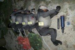 Điều tra nhóm người bắn chết 5 cá thể voọc chà vá chân xám ở Quảng Ngãi