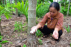 Loài cây Việt Nam có từ thời cổ tích: Ăn 1 nắm muối, thu 1 phân vàng