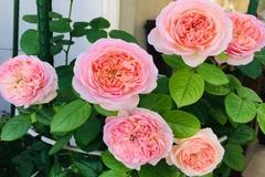 Vườn hồng rực rỡ quanh năm trên sân thượng của một gia đình ở TPHCM