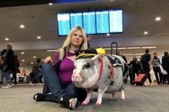 Video 20 chú lợn xua chim, đuổi ngỗng trời 'bảo vệ' sân bay bận rộn nhất châu Âu
